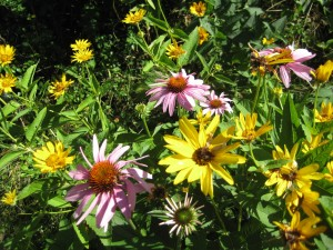 Coneflower (Echinacea) and False Sunflowers
