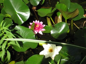 Pond Lillies - August 2013