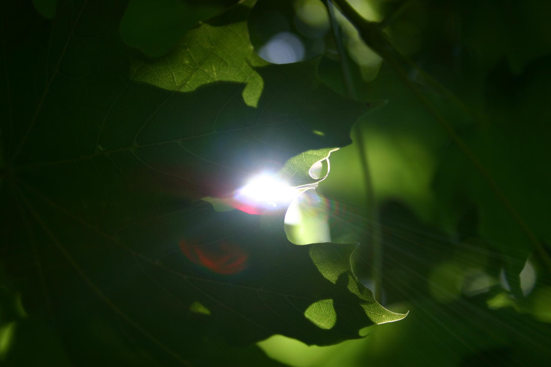 Light through leaves,  photo by Mark A.  Harrison